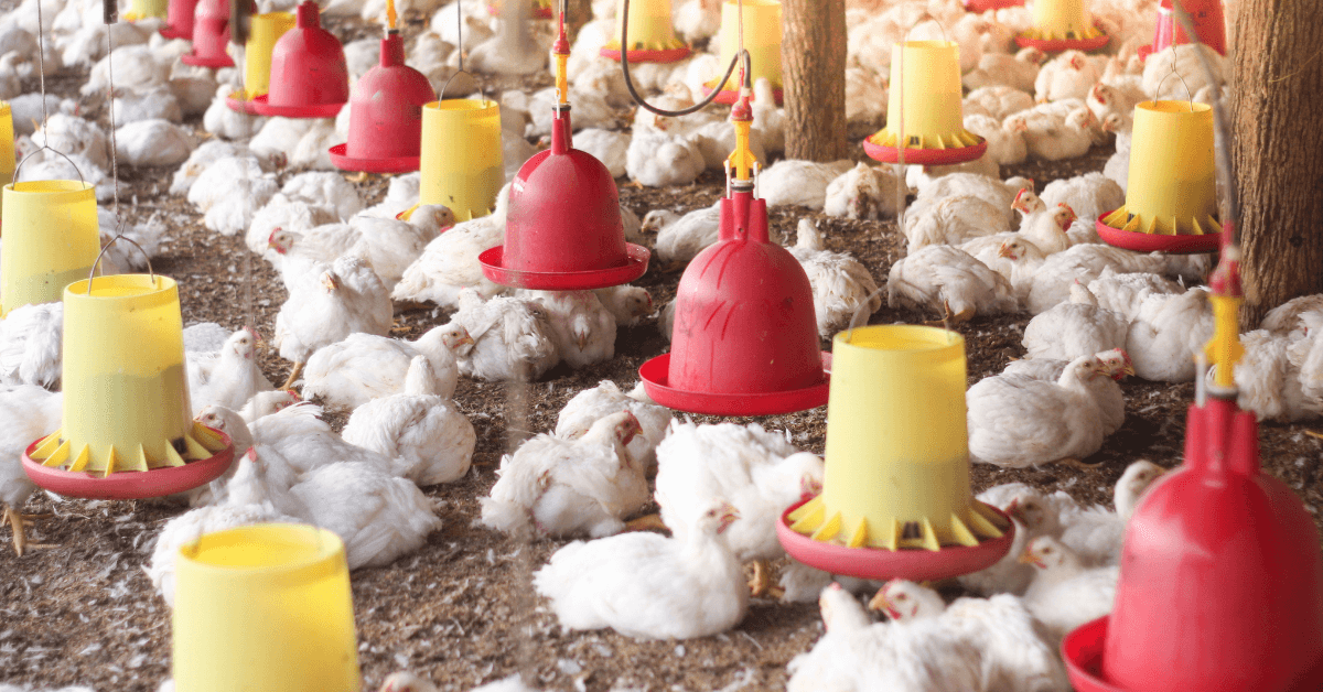 Course Image Broilers Feed Formulation