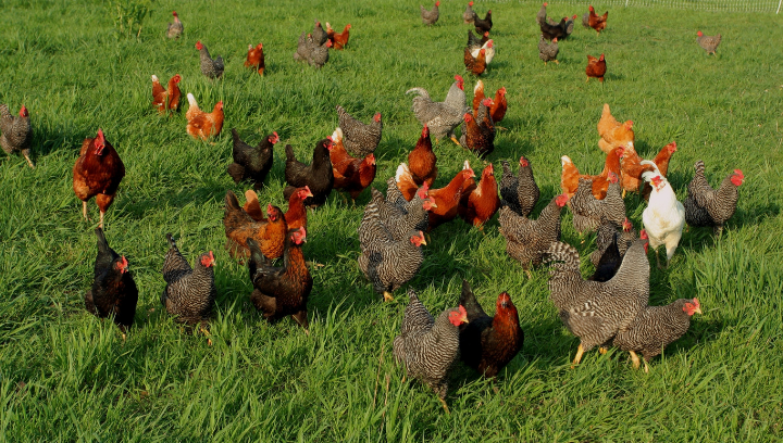 Course Image Kienyeji Chicken Farming