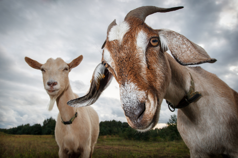 Course Image Dairy Goat Farming