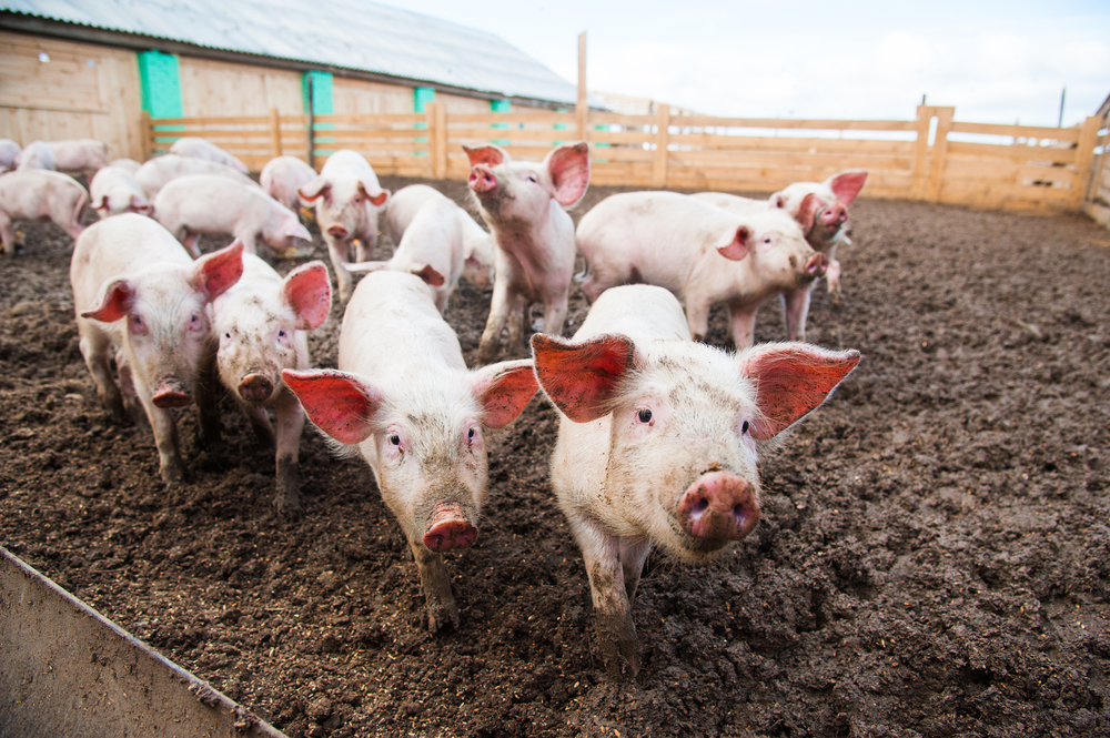 Course Image Pig Farming