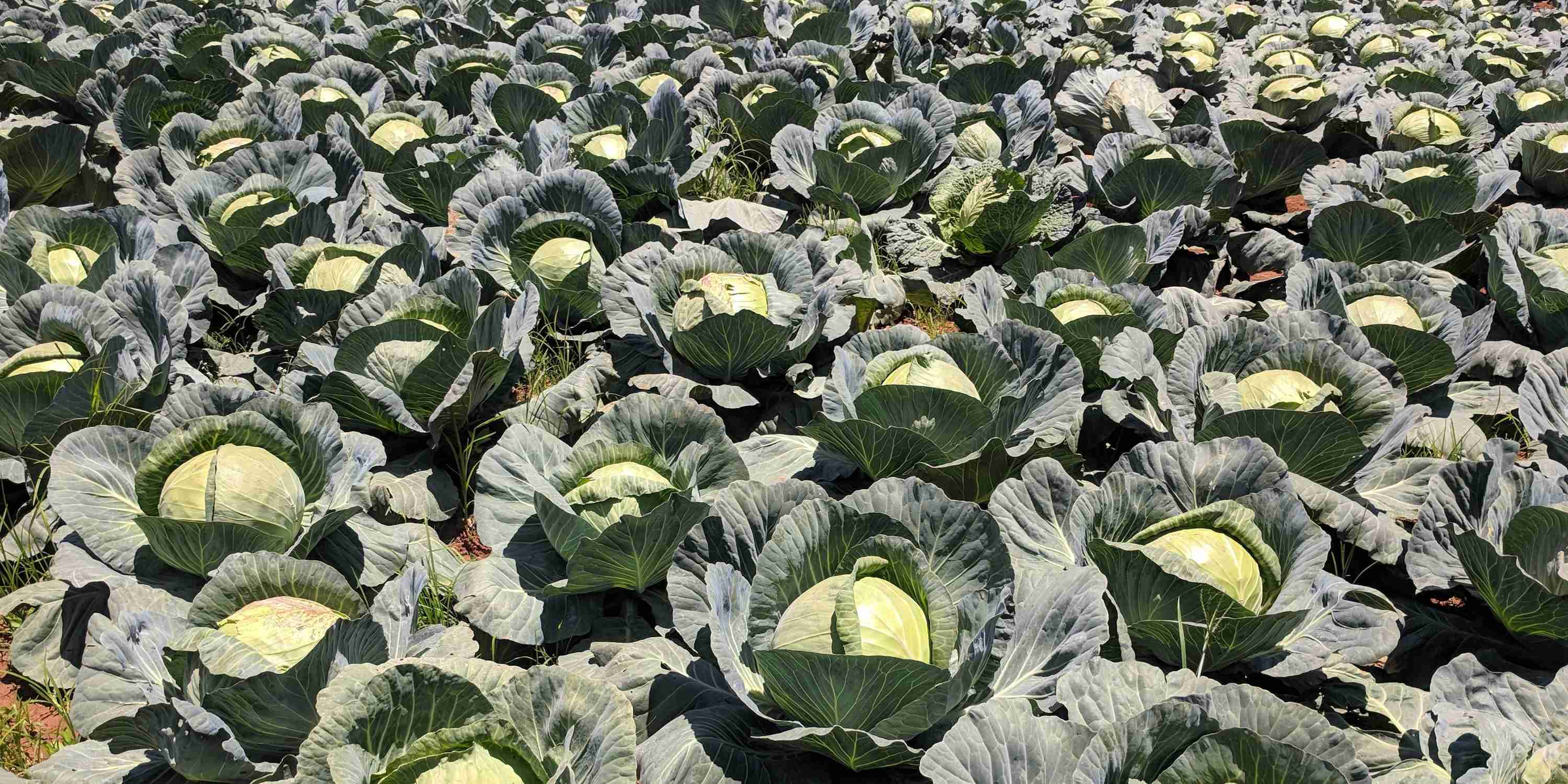 Course Image Cabbage Farming